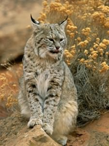 Of Bobcats and Evening Serenity