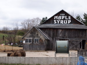 Field Trip: In Which We Attempt to Go a Maple Sugaring and Find a Bull