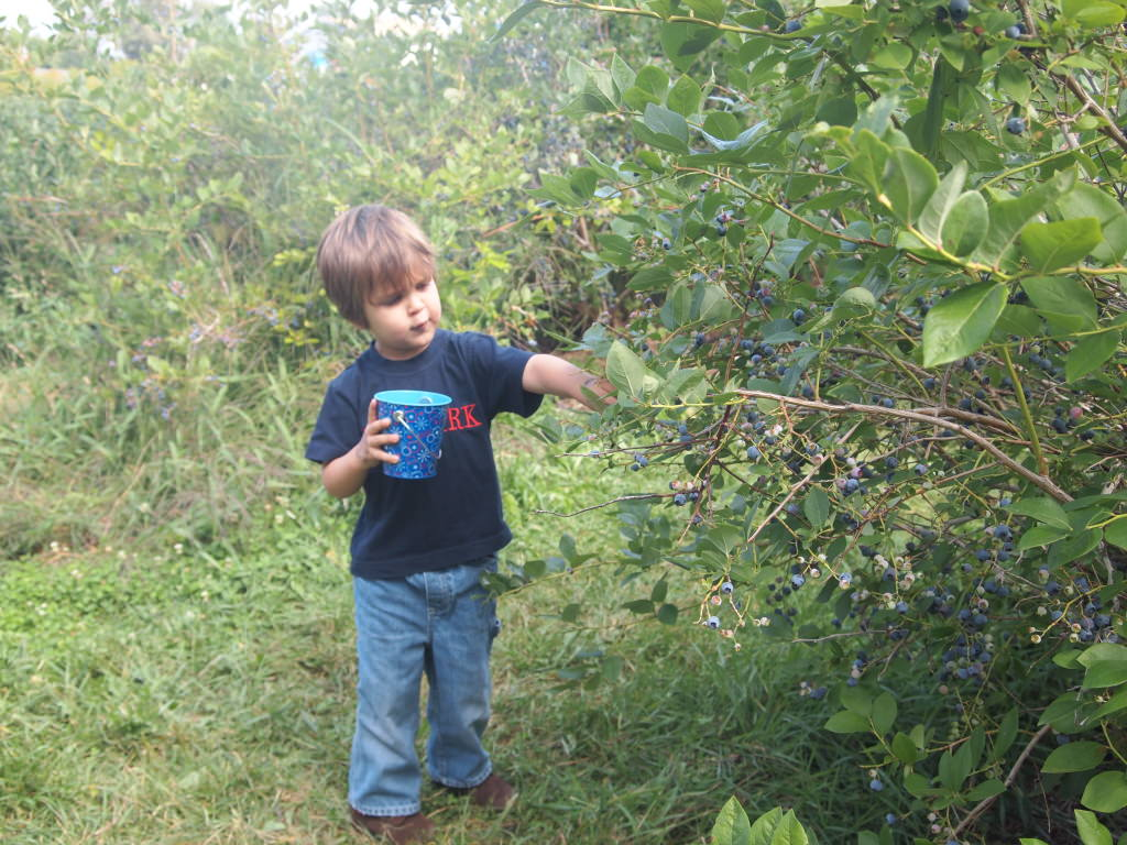 Son #4 Picks Blueberries | ComfortablyDomestic.com