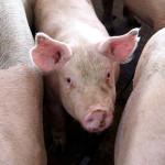 Brenneman Pork – 5 Minutes with a Pork Farmer