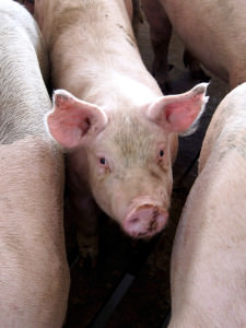 Brenneman Pork – 5 Minutes with a Pork Farmer