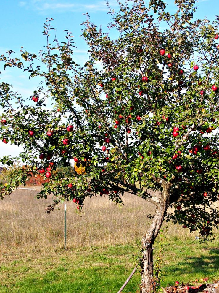 apple-tree-bearing-fruit